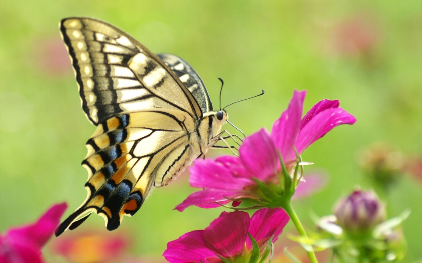 Beautiful-Butterfly-On-Pink-Flower